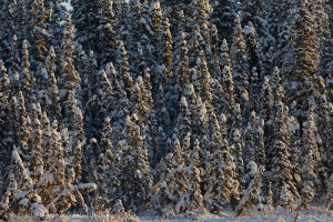Spruce trees in Wrangell - St. Elias National Park and Preserve, Alaska.