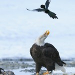 A magpie passes over a calling bald eagle.