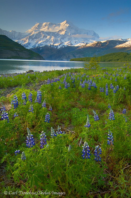Mt. St. Elias and a field of lupine, Icy Bay.