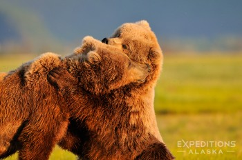 2 adult brown bears (Ursus arctos) play together in an embrace. Hallo Bay in June/July is a great time to see and photograph bear behavior like this.