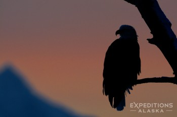 A silhouette of a bald eagle, perched in a giant Cottonwood tree, against the St. Elias Mountain Range at sunset. Chilkat Eagle Preserve, Alaska.