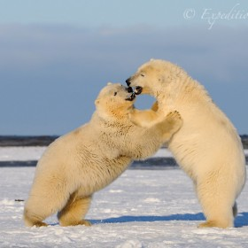 Polar bears (Ursus maritimus), playing on fresh ice and snow near the Beaufort Sea, Kaktovik, Alaska.