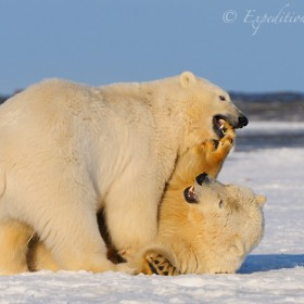 Young polar bears playing.