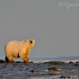 Male polar bear, Ursus maritimus