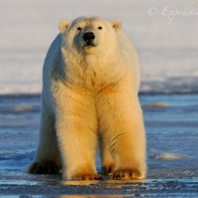 Polar bear on ice, Alaska