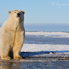 Polar bear sitting on beach