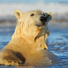 Polar bear in freezing water
