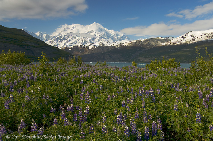 Mount St. Elias and lupine, Icy Bay.
