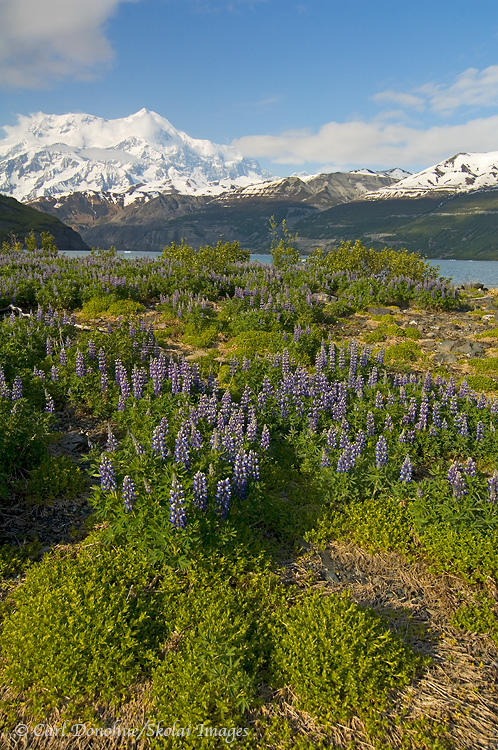 Lupine field and Mt. St. Elias.