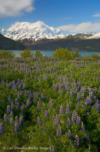 Mt. St. Elias and Nootka Lupine, Wrangell - St. Elias National Park.