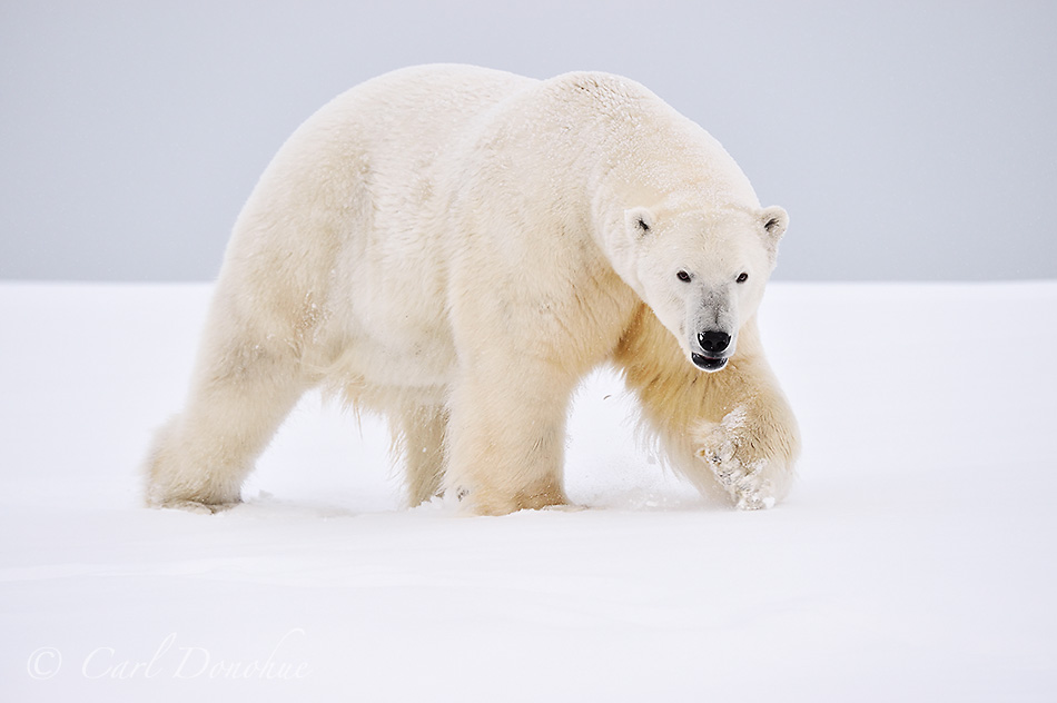 A large male adult polar bear (Ursus maritimus) stalks across the frozen, snow-covered tundra of the Arctic National Wildlife Refuge, in Alaska.