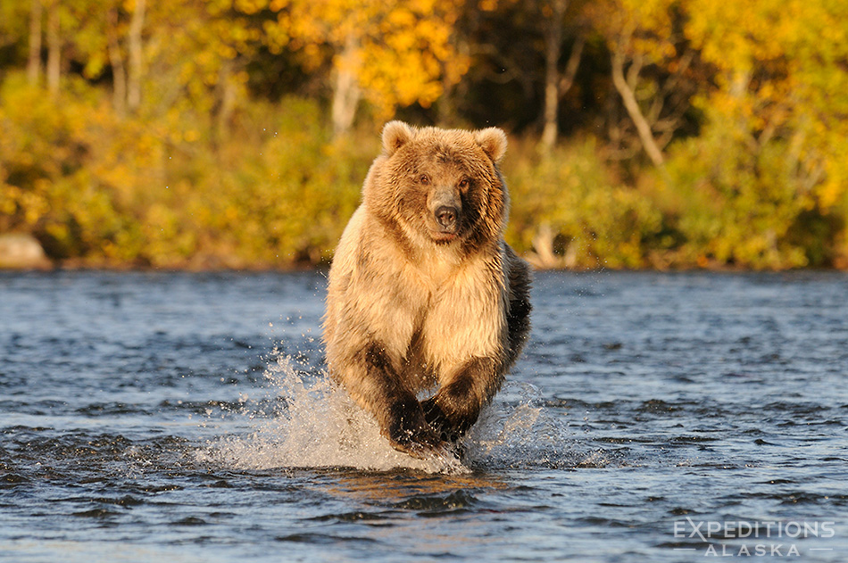 A grizzly bear (brown bear, Ursus arctos), charging up Brooks River chasing spawning Sockeye Salmon, fall colors on the forest in the background, Katmai National Park, Alaska.