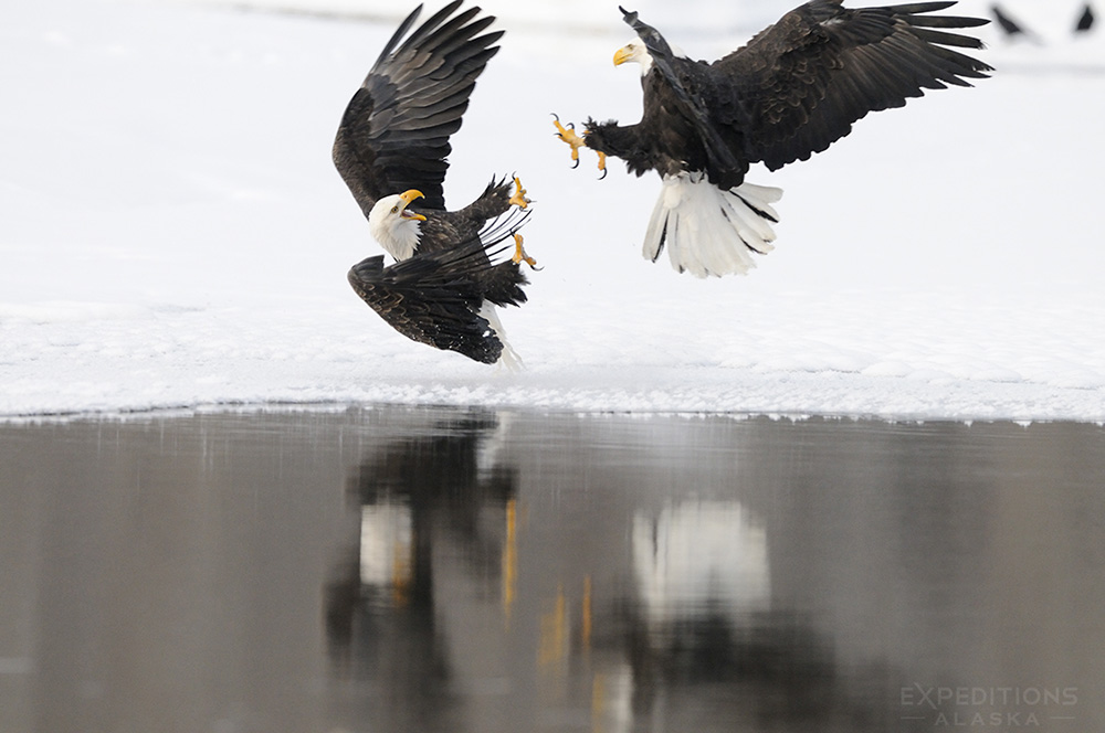 two bald eagles reflections
