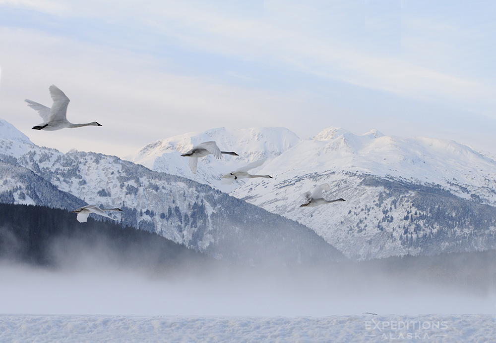 A family of trumpeter swans in flight against mountains.