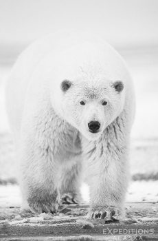 A black and white rendition of this young polar bear approaching the camera. Arctic National Wildlife Refuge, Alaska.